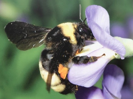 On The Endangered List: Bye, Bye Bumble Bees