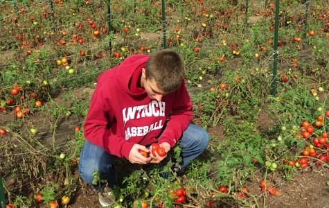 Photo by Taylor Brandon ACHS senior Sam Smithson picks a luscious Tomatoe.