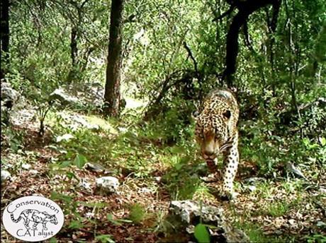 Jaguar Fights Extinction