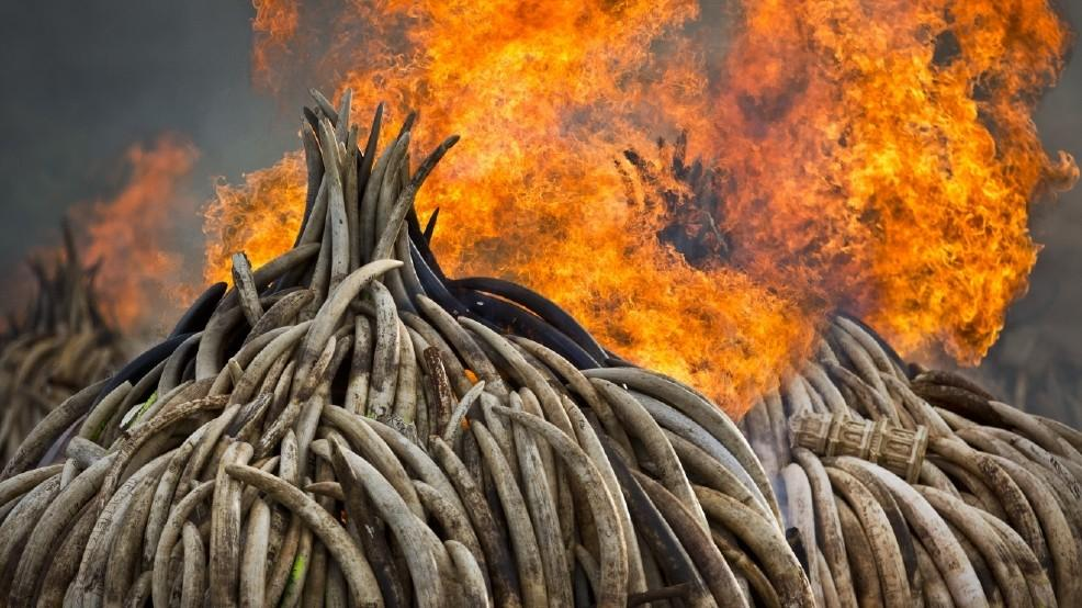 Two pyres of ivory burn in Kenya on Saturday.