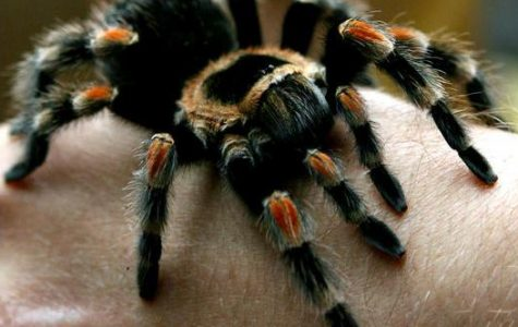 A man plays with a tarantula spider(Brachypelma Smithi), during a live exotic animal exhibition in the Bulgarian capital Sofia, Saturday, May, 19, 2007. (AP Photo/Petar Petrov)
